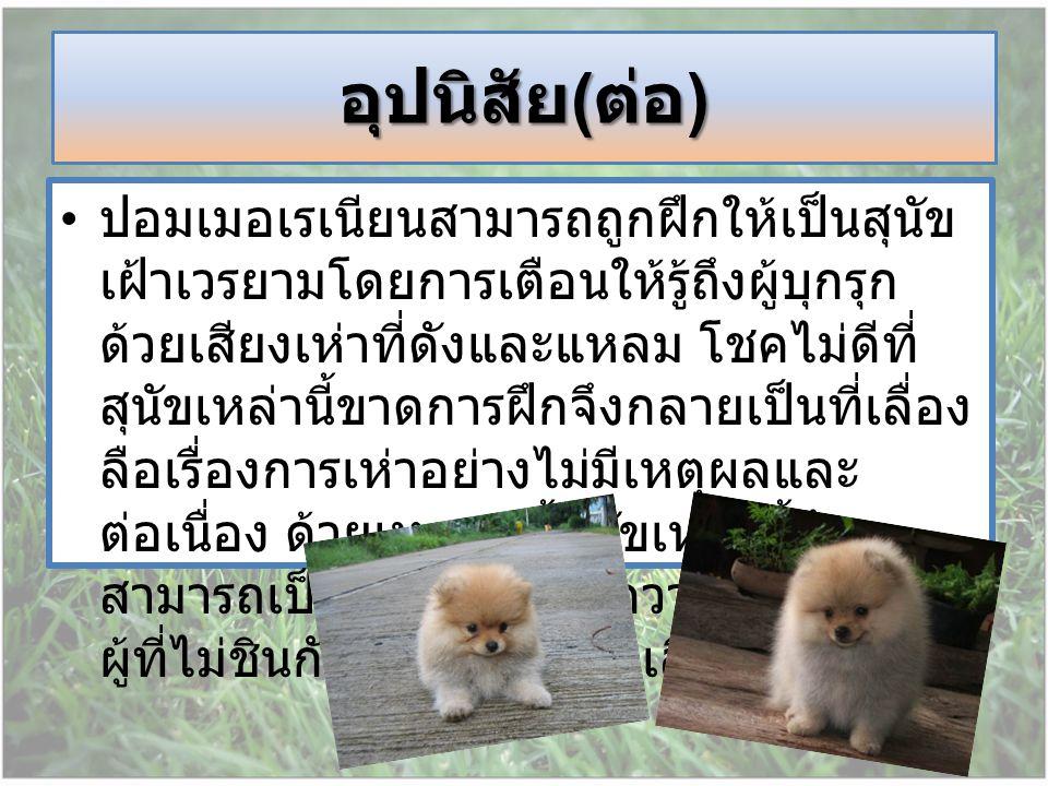 ปอมเมอเรเนียนสามารถถูกฝึกให้เป็นสุนัข เฝ้าเวรยามโดยการเตือนให้รู้ถึงผู้บุกรุก ด้วยเสียงเห่าที่ดังและแหลม โชคไม่ดีที่ สุนัขเหล่านี้ขาดการฝึกจึงกลายเป็น