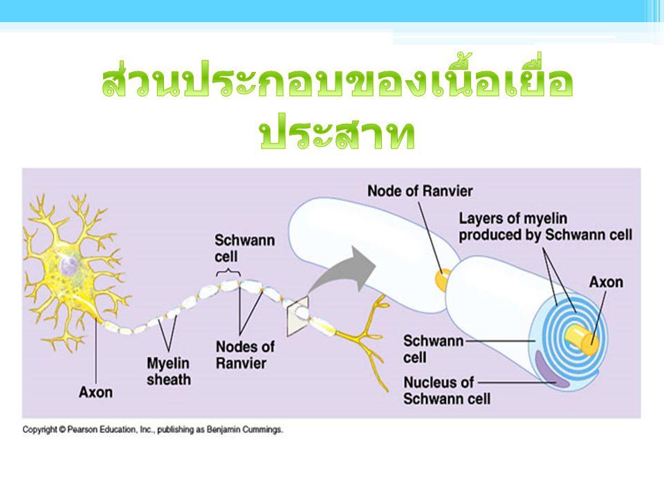 ตัวเซลล์ (Cell body) ▫ หน้าที่เกี่ยวกับการเจริญเติบโตและเมแทบอลิซึมของ เซลล์ประสาท ( เป็นแหล่งสร้างพลังงาน สังเคราะห์ โปรตีนที่เป็นสารสื่อประสาท ใยประ