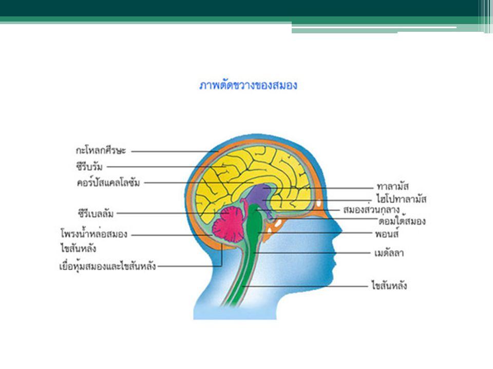 1. สมอง (Brain) เป็นส่วนที่ใหญ่กว่าส่วนอื่นๆของระบบประสาท ส่วนกลางทำหน้าที่ควบคุมการทำกิจกรรมทั้งหมดของ ร่างกายเป็นอวัยวะชนิดเดียวที่แสดงความสามารถด้า
