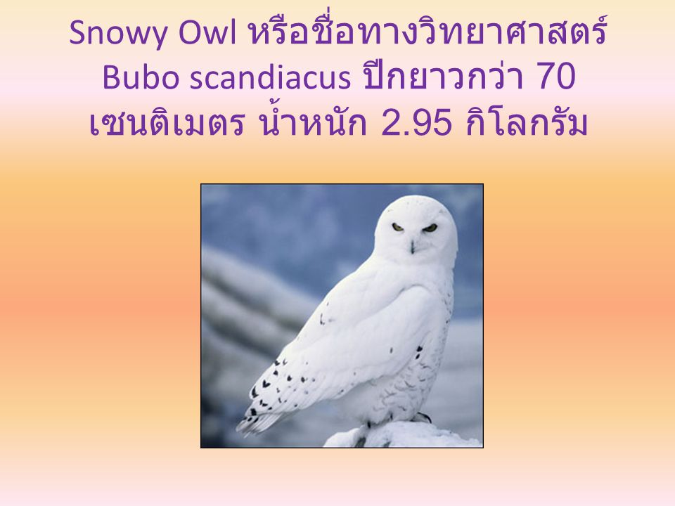 Snowy Owl หรือชื่อทางวิทยาศาสตร์ Bubo scandiacus ปีกยาวกว่า 70 เซนติเมตร น้ำหนัก 2.95 กิโลกรัม