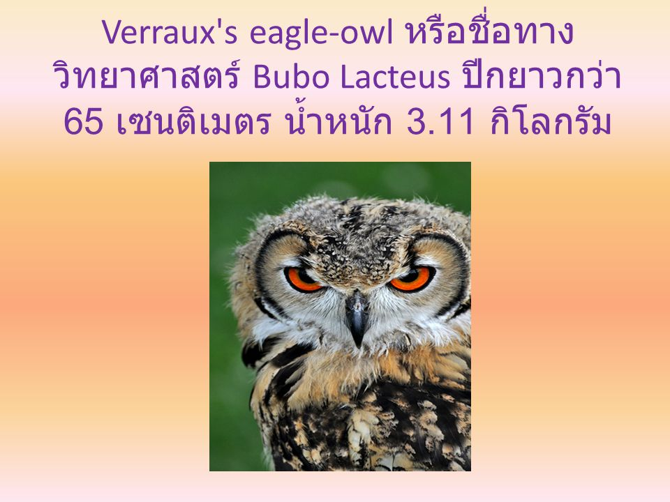 Verraux s eagle-owl หรือชื่อทาง วิทยาศาสตร์ Bubo Lacteus ปีกยาวกว่า 65 เซนติเมตร น้ำหนัก 3.11 กิโลกรัม