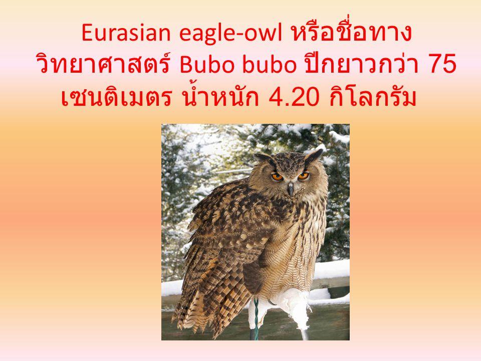 Eurasian eagle-owl หรือชื่อทาง วิทยาศาสตร์ Bubo bubo ปีกยาวกว่า 75 เซนติเมตร น้ำหนัก 4.20 กิโลกรัม
