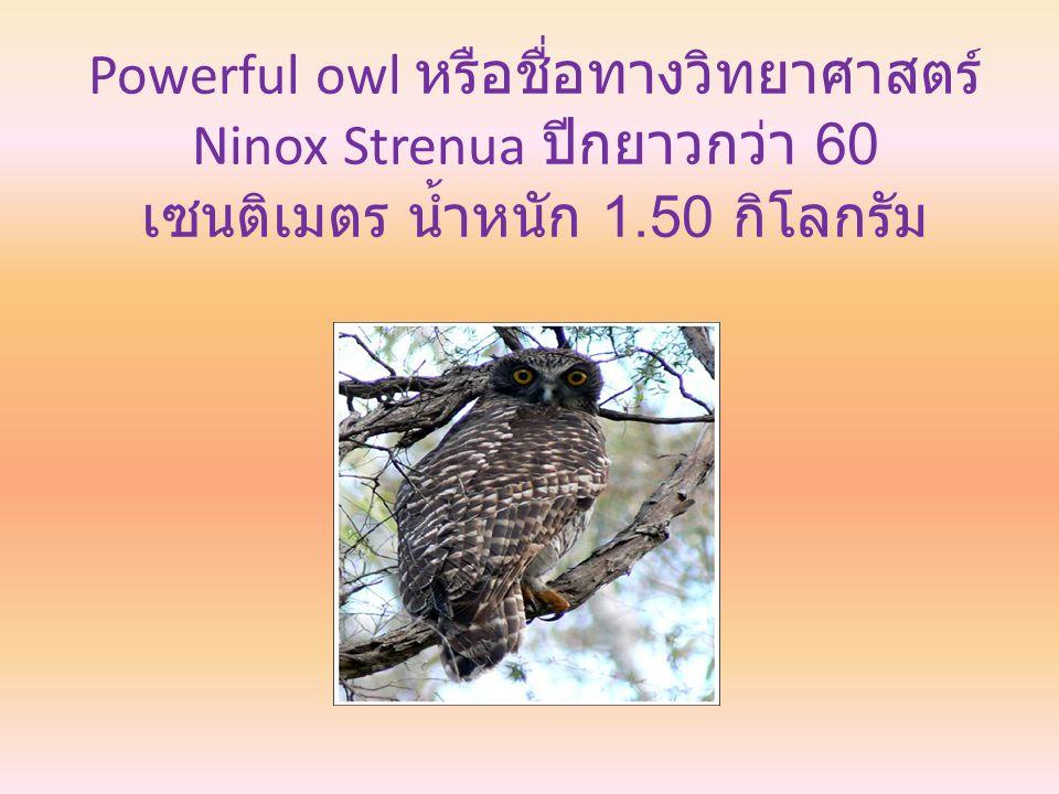 Powerful owl หรือชื่อทางวิทยาศาสตร์ Ninox Strenua ปีกยาวกว่า 60 เซนติเมตร น้ำหนัก 1.50 กิโลกรัม