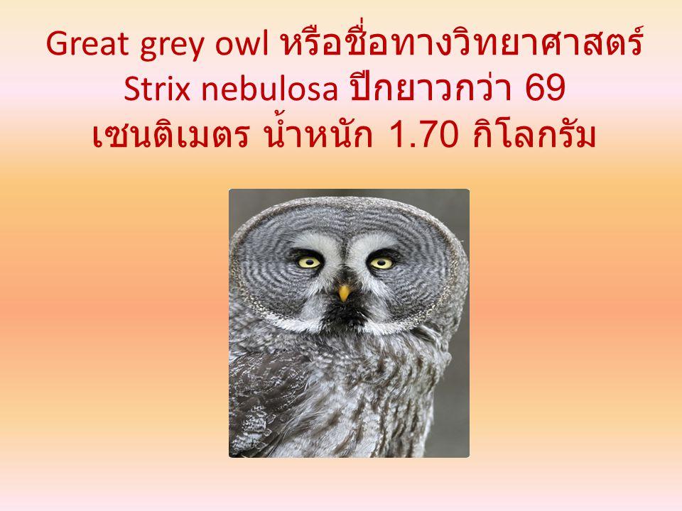 Great grey owl หรือชื่อทางวิทยาศาสตร์ Strix nebulosa ปีกยาวกว่า 69 เซนติเมตร น้ำหนัก 1.70 กิโลกรัม