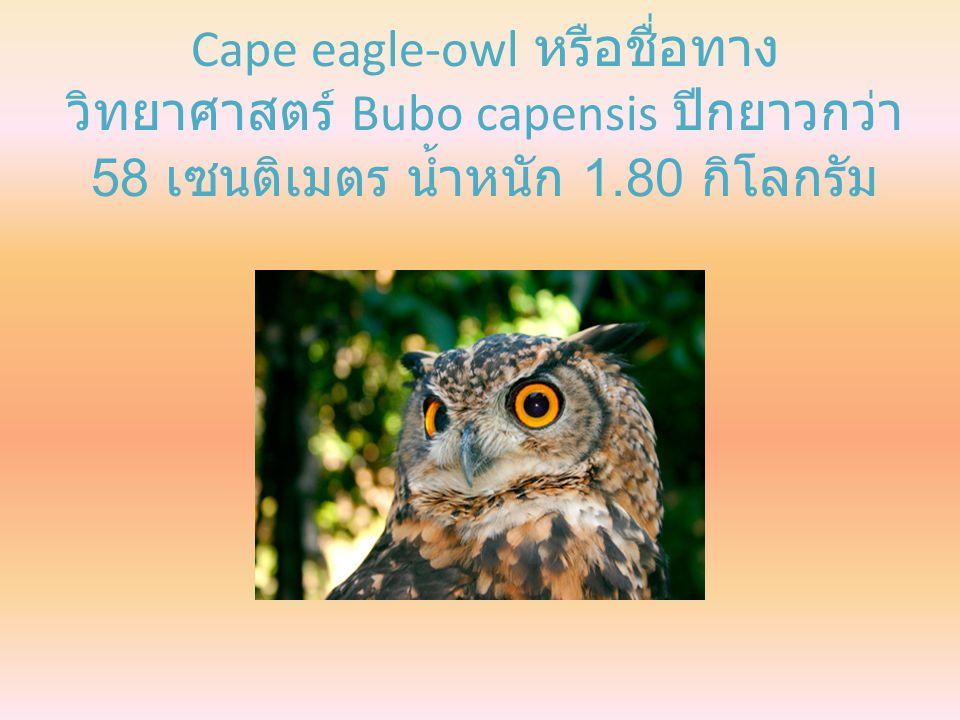 Cape eagle-owl หรือชื่อทาง วิทยาศาสตร์ Bubo capensis ปีกยาวกว่า 58 เซนติเมตร น้ำหนัก 1.80 กิโลกรัม