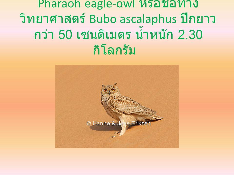Pharaoh eagle-owl หรือชื่อทาง วิทยาศาสตร์ Bubo ascalaphus ปีกยาว กว่า 50 เซนติเมตร น้ำหนัก 2.30 กิโลกรัม