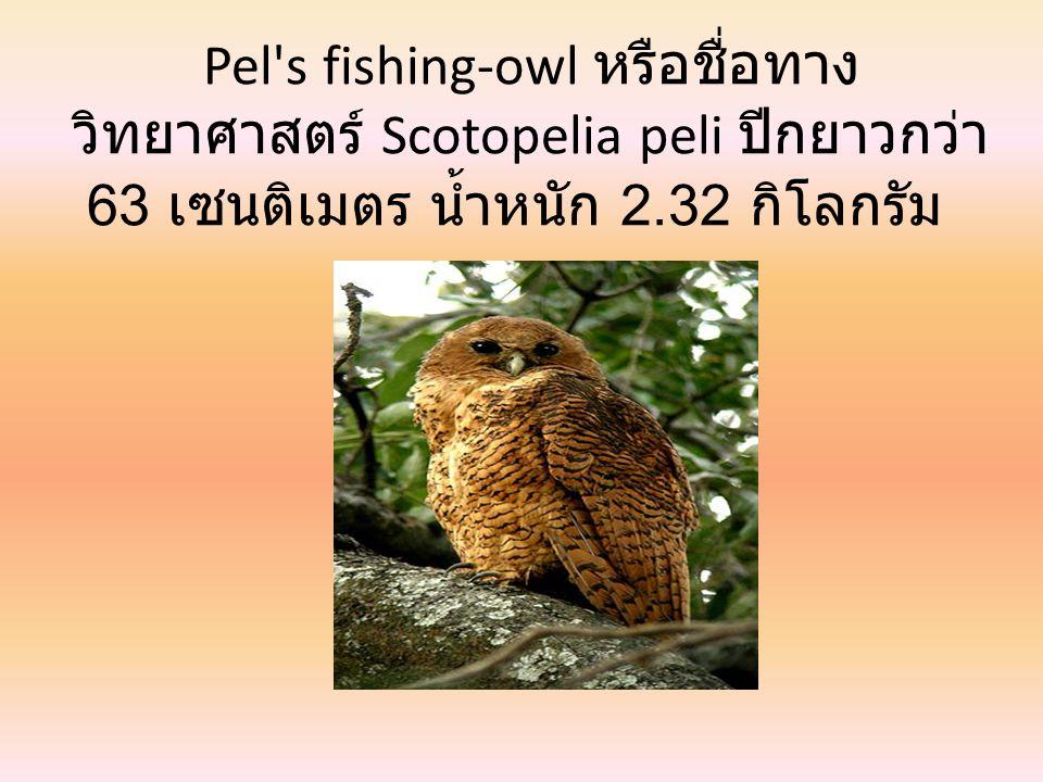Great Horned owl หรือชื่อทาง วิทยาศาสตร์ Bubo virginianus ปีกยาว กว่า 60 เซนติเมตร น้ำหนัก 2.50 กิโลกรัม
