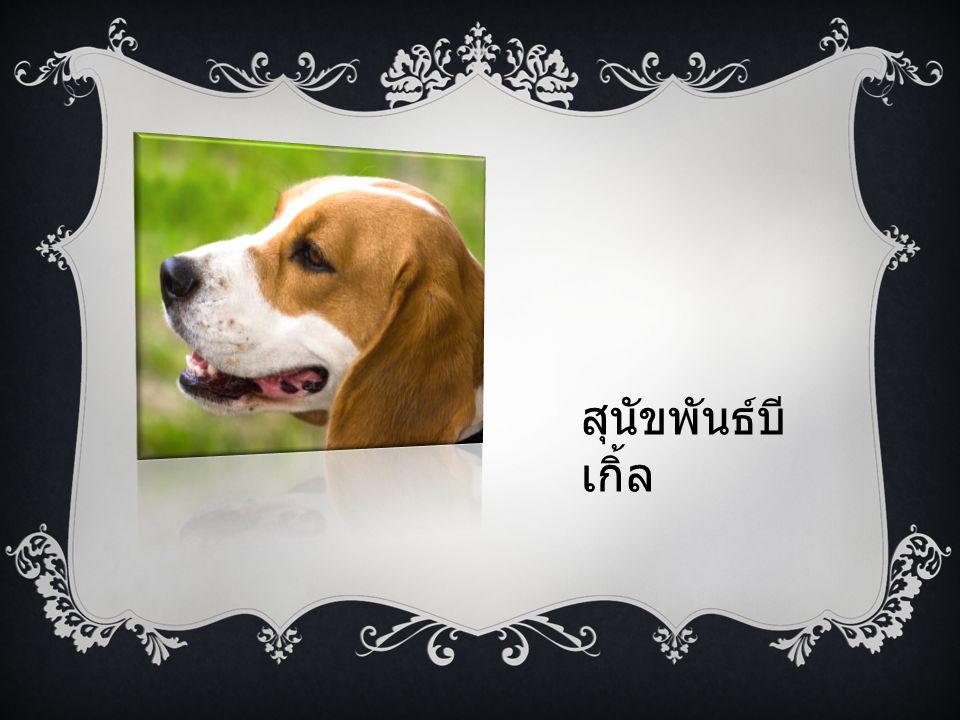 สุนัขพันธ์บี เกิ้ล