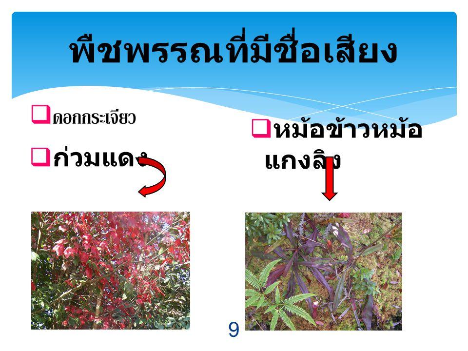  ก่วมแดง พืชพรรณที่มีชื่อเสียง  หม้อข้าวหม้อ แกงลิง 9