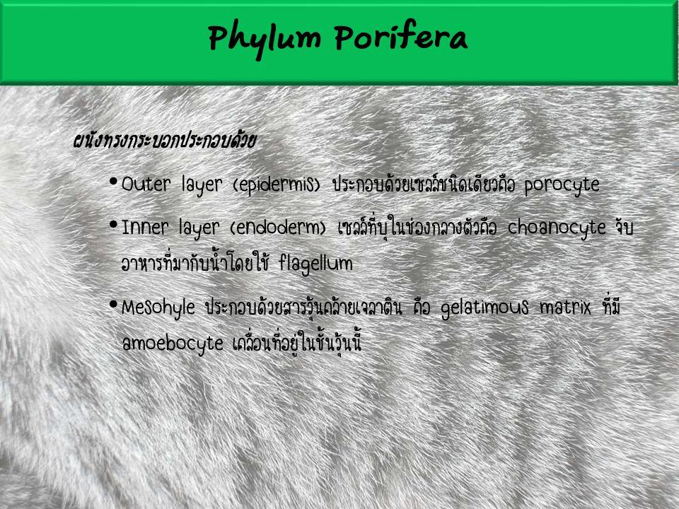 ผนังทรงกระบอกประกอบด้วย Outer layer (epidermis) ประกอบด้วยเซลล์ชนิดเดียวคือ porocyte Inner layer (endoderm) เซลล์ที่บุในช่องกลางตัวคือ choanocyte จับ