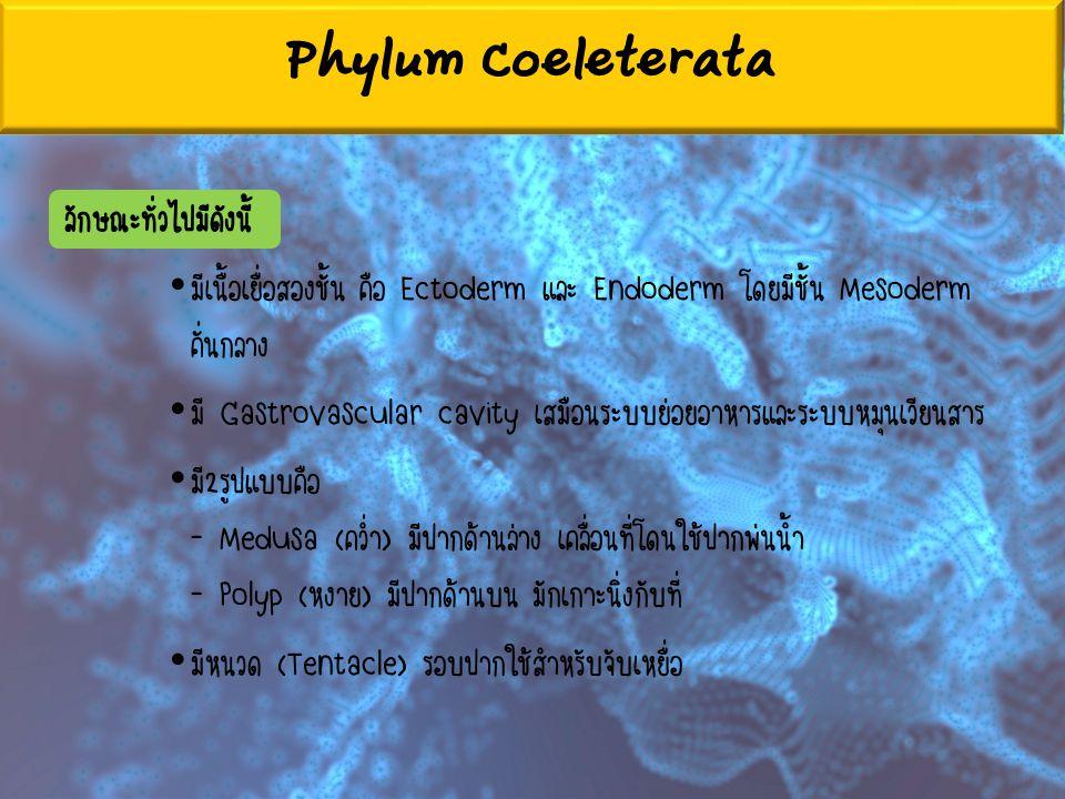 Phylum Coeleterata ลักษณะทั่วไปมีดังนี้ มีเนื้อเยื่อสองชั้น คือ Ectoderm และ Endoderm โดยมีชั้น Mesoderm คั่นกลาง มี Gastrovascular cavity เสมือนระบบย