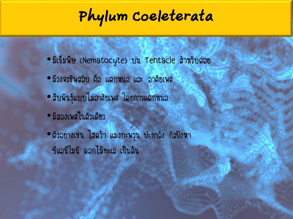Phylum Coeleterata มีเข็มพิษ (Nematocyte) บน Tentacle สำหรับต่อย มีวงจรชีพสลับ คือ แตกหน่อ และ อาศัยเพศ สืบพันธุ์แบบไม่อาศัยเพศ โดยการแตกหน่อ มีสองเพศ