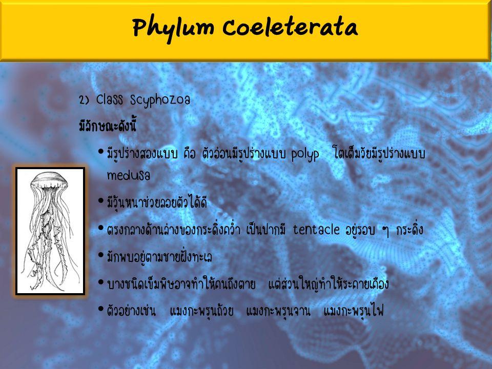 Phylum Coeleterata 2) Class Scyphozoa มีลักษณะดังนี้ มีรูปร่างสองแบบ คือ ตัวอ่อนมีรูปร่างแบบ polyp โตเต็มวัยมีรูปร่างแบบ medusa มีวุ้นหนาช่วยลอยตัวได้