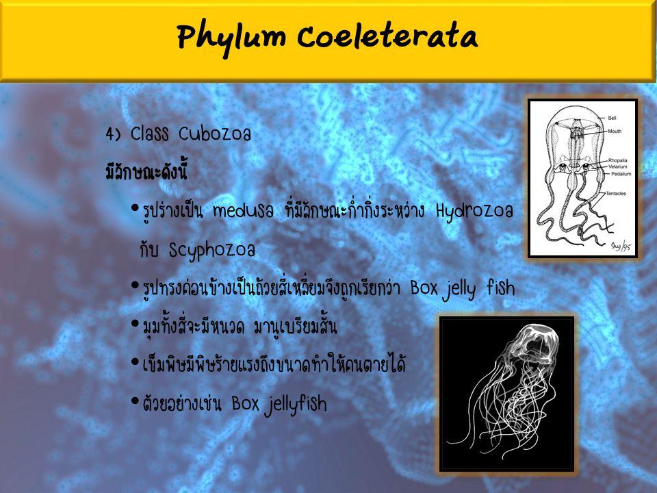 Phylum Coeleterata 4) Class Cubozoa มีลักษณะดังนี้ รูปร่างเป็น medusa ที่มีลักษณะก่ำกิ่งระหว่าง Hydrozoa กับ Scyphozoa รูปทรงค่อนข้างเป็นถ้วยสี่เหลี่ย