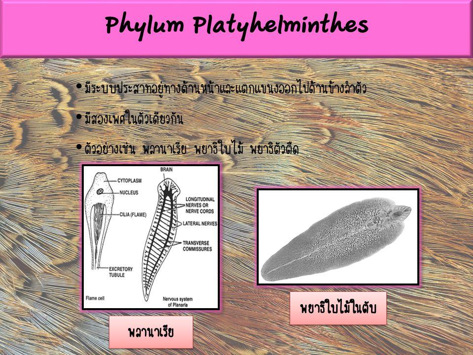 มีระบบประสาทอยู่ทางด้านหน้าและแตกแขนงออกไปด้านข้างลำตัว มีสองเพศในตัวเดียวกัน ตัวอย่างเช่น พลานาเรีย พยาธิใบไม้ พยาธิตัวตืด Phylum Platyhelminthes พลา