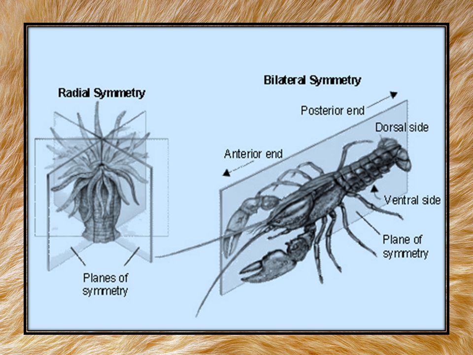 3) การเปลี่ยนแปลงของบลาสโทพอร์ (Blastopore) บลาสโทพอร์ เป็นช่องที่เกิดจากการม้วนตัวของเนื้อเยื่อชั้นใน (Endoderm) ซึ่ง พบในสัตว์ที่มีสมมาตรด้านข้าง มี 2 แบบคือ 3.1 โพรโทสโทเมีย (Protostomia) พวกที่บลาสโทพอร์เปลี่ยนเป็นช่องปากก่อน ทวารหนัก 3.2 ดิวเทอโรสโทเมีย (Deuterostomia) พวกที่บลาสโทพอร์เปลี่ยนเป็น ช่องทวารหนักก่อนปาก เกณฑ์การจำแนกสัตว์