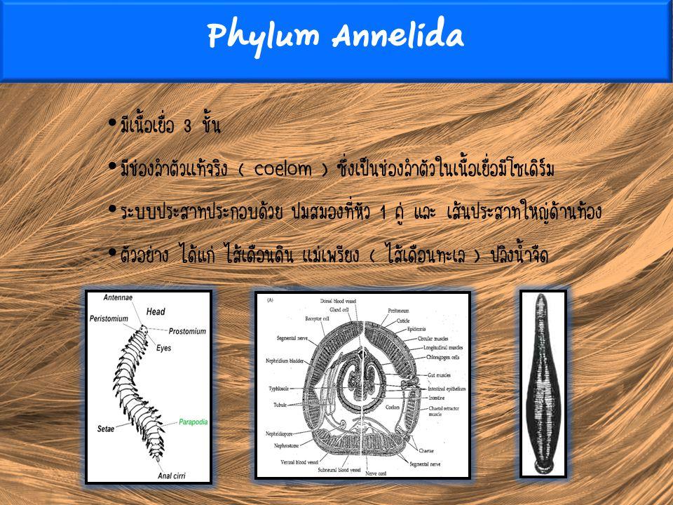 Phylum Annelida มีเนื้อเยื่อ 3 ชั้น มีช่องลำตัวเเท้จริง ( coelom ) ซึ่งเป็นช่องลำตัวในเนื้อเยื่อมีโซเดิร์ม ระบบประสาทประกอบด้วย ปมสมองที่หัว 1 คู่ และ