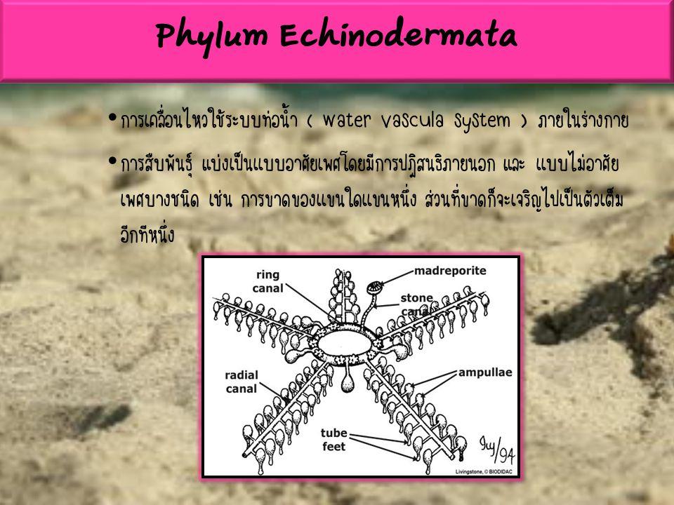การเคลื่อนไหวใช้ระบบท่อน้ำ ( water vascula system ) ภายในร่างกาย การสืบพันธุ์ แบ่งเป็นเเบบอาศัยเพศโดยมีการปฎิสนธิภายนอก และ เเบบไม่อาศัย เพศบางชนิด เช