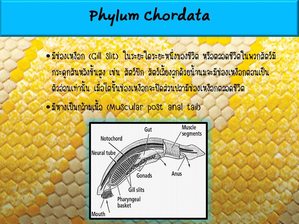 มีช่องเหงือก (Gill slit) ในระยะใดระยะหนึ่งของชีวิต หรือตลอดชีวิตในพวกสัตว์มี กระดูกสันหลังชั้นสูง เช่น สัตว์ปีก สัตว์เลี้ยงลูกด้วยน้ำนมจะมีช่องเหงือกต