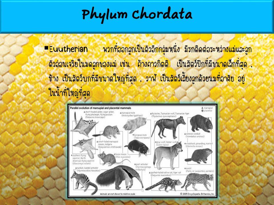 Euutherian พวกที่ออกลูกเป็นตัวอีกกลุ่มหนึ่ง มีรกติดต่อระหว่างแม่และลูก ตัวอ่อนเจริยในมดลูกของแม่ เช่น ค้างคาวกิตติ เป็นสัตว์ปีกที่มีขนาดเล็กที่สุด,