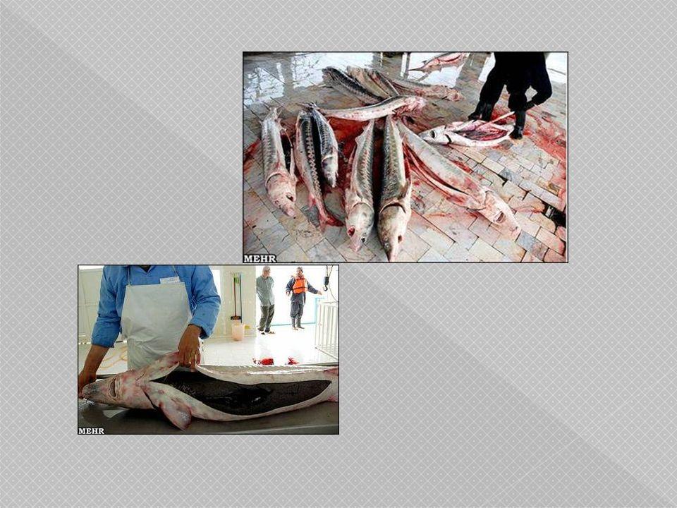  นอก จากนี้คำว่าคาเวียร์ ถูกดัดแปลงมาจาก คำ ว่า คอกอาวาร์ ของ ภาษาเปอร์เซีย ซึ่งมี ความหมายว่าผู้ผลิตไข่ ปลา ซึ่งในที่นี่นั้นเป็น การอ้างถึงปลาสเตอ เจียนและไข่ของปลา ชนิดนี้เช่นกัน