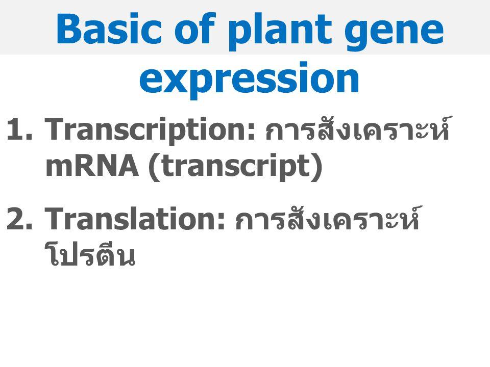 Basic of plant gene expression 1.Transcription: การสังเคราะห์ mRNA (transcript) 2.Translation: การสังเคราะห์ โปรตีน