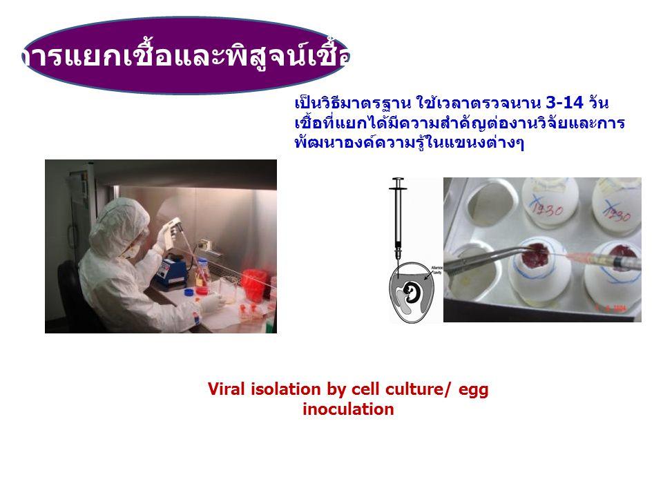 Viral isolation by cell culture/ egg inoculation การแยกเชื้อและพิสูจน์เชื้อ เป็นวิธีมาตรฐาน ใช้เวลาตรวจนาน 3-14 วัน เชื้อที่แยกได้มีความสำคัญต่องานวิจ