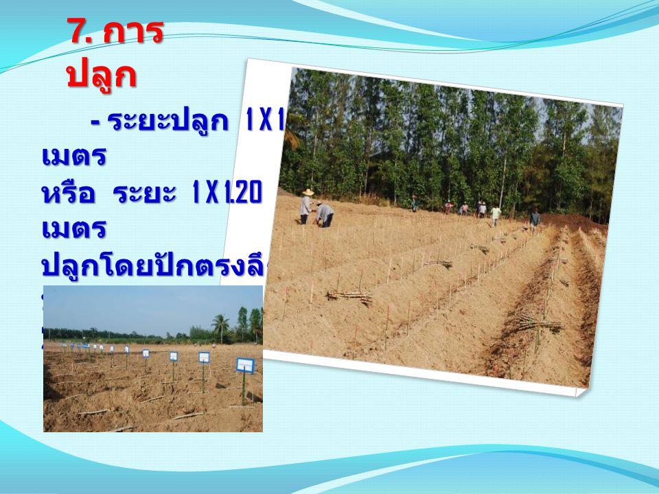 7. การ ปลูก - ระยะปลูก 1 X 1 เมตร - ระยะปลูก 1 X 1 เมตร หรือ ระยะ 1 X 1.20 เมตร ปลูกโดยปักตรงลึก ประมาณ 20 – 25 เซนติเมตร