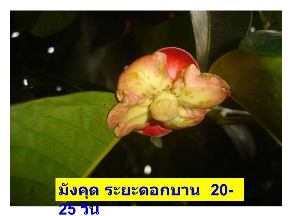 มังคุด ระยะดอกบาน 20- 25 วัน