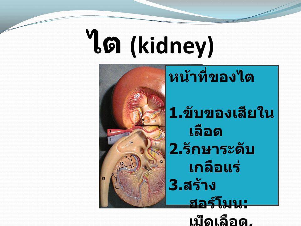 ไต (kidney) หน้าที่ของไต 1.ขับของเสียใน เลือด 2. รักษาระดับ เกลือแร่ 3.