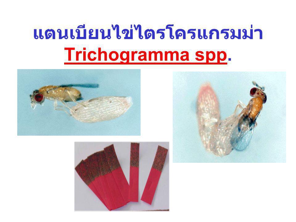 แตนเบียนไข่ไตรโครแกรมม่า Trichogramma spp.