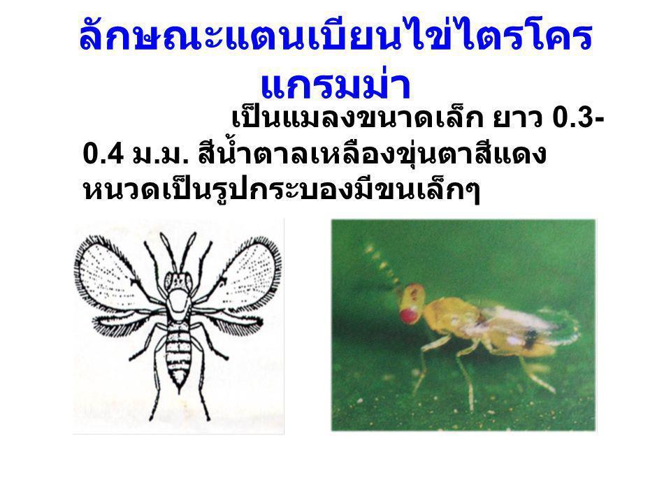 ลักษณะแตนเบียนไข่ไตรโคร แกรมม่า เป็นแมลงขนาดเล็ก ยาว 0.3- 0.4 ม. ม. สีน้ำตาลเหลืองขุ่นตาสีแดง หนวดเป็นรูปกระบองมีขนเล็กๆ