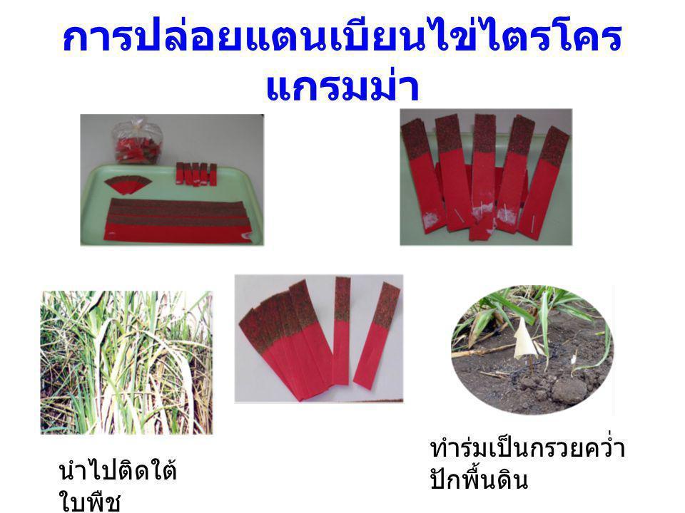 การปล่อยแตนเบียนไข่ไตรโคร แกรมม่า นำไปติดใต้ ใบพืช ทำร่มเป็นกรวยคว่ำ ปักพื้นดิน