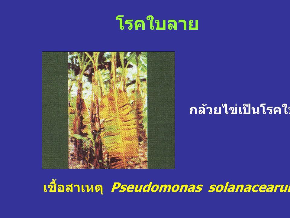โรคใบลาย เชื้อสาเหตุ Pseudomonas solanacearum (Smith) Smith กล้วยไข่เป็นโรคใบลาย