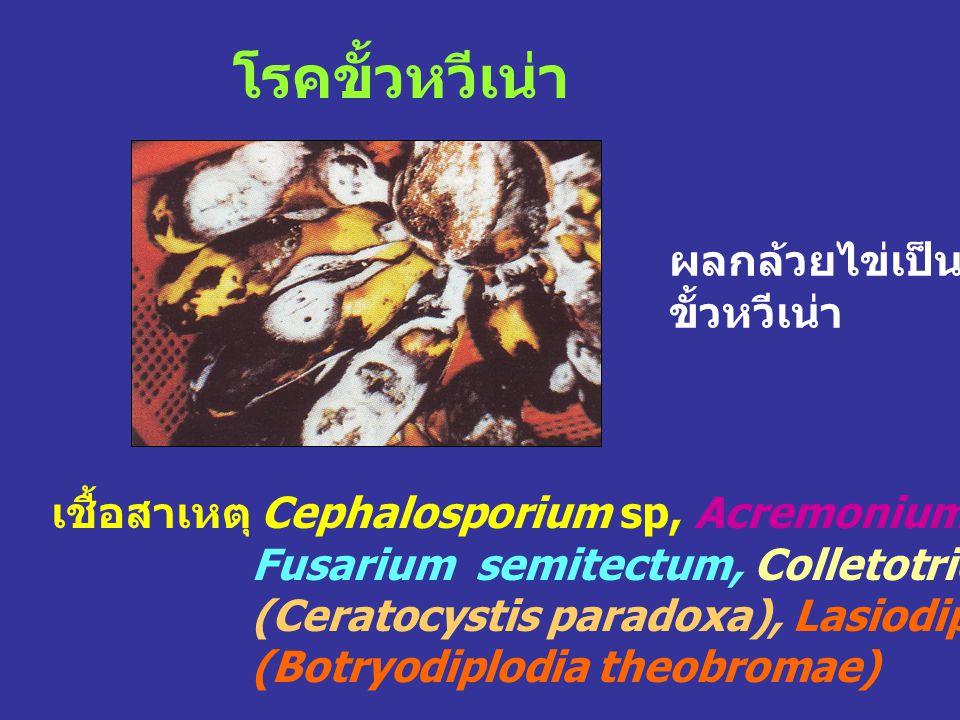 โรคขั้วหวีเน่า เชื้อสาเหตุ Cephalosporium sp, Acremonium sp, Verticillium theobromae, Fusarium semitectum, Colletotrichum musae, Chalara paradoxa (Cer