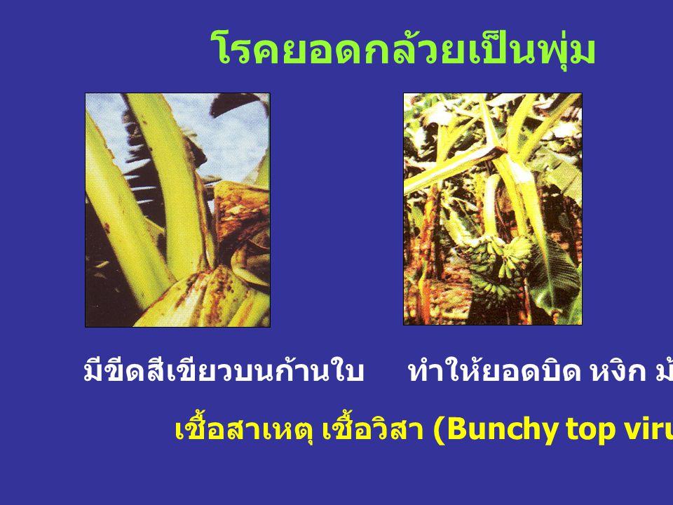 โรคยอดกล้วยเป็นพุ่ม เชื้อสาเหตุ เชื้อวิสา (Bunchy top virus) มีขีดสีเขียวบนก้านใบทำให้ยอดบิด หงิก ม้วน