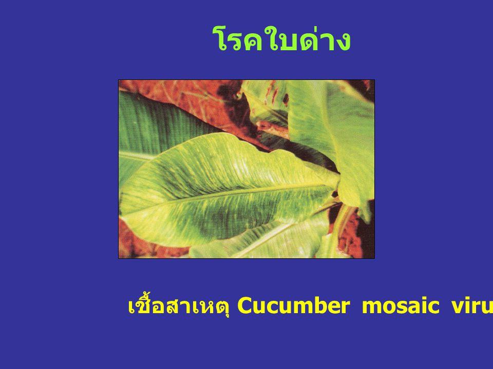 โรคใบด่าง เชื้อสาเหตุ Cucumber mosaic virus (CMV)