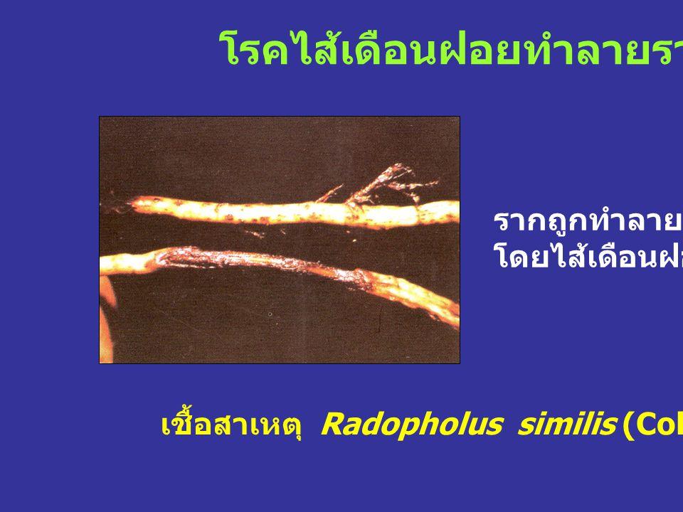 โรคไส้เดือนฝอยทำลายราก เชื้อสาเหตุ Radopholus similis (Cobb.) Thorne. รากถูกทำลาย โดยไส้เดือนฝอย