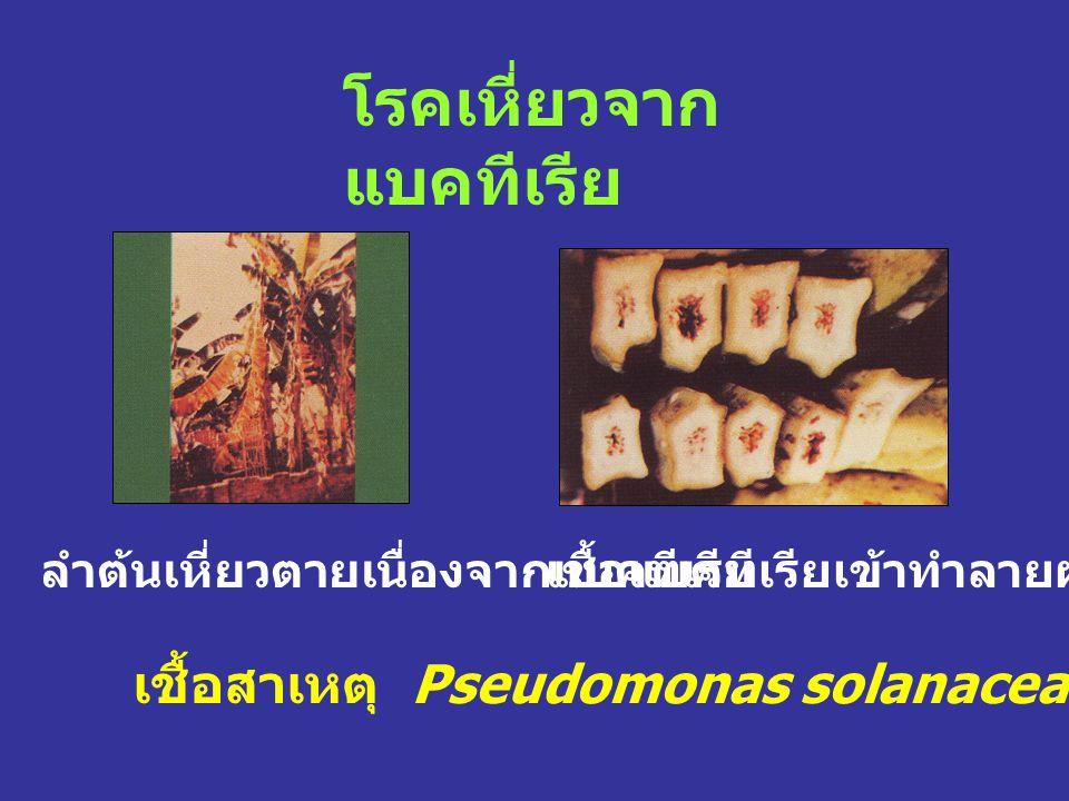 โรคเหี่ยวจาก แบคทีเรีย เชื้อสาเหตุ Pseudomonas solanacearum (Smith) Smith ลำต้นเหี่ยวตายเนื่องจากแบคทีเรียเชื้อแบคทีเรียเข้าทำลายผลกล้วย