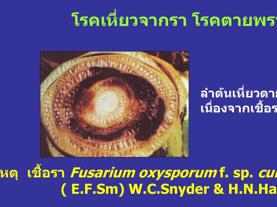 โรคเหี่ยวจากรา โรคตายพราย เชื้อสาเหตุ เชื้อรา Fusarium oxysporum f. sp. cubense ( E.F.Sm) W.C.Snyder & H.N.Hans. ลำต้นเหี่ยวตาย เนื่องจากเชื้อรา