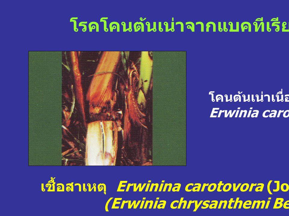 โรคโคนต้นเน่าจากแบคทีเรีย เชื้อสาเหตุ Erwinina carotovora (Jones) Bergy et al., (Erwinia chrysanthemi Berkholder et al.) โคนต้นเน่าเนื่องจาก Erwinia c