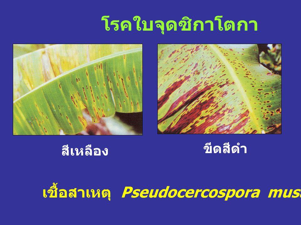 โรคใบจุดซิกาโตกา เชื้อสาเหตุ Pseudocercospora musae (A. Zimmerm.) สีเหลือง ขีดสีดำ