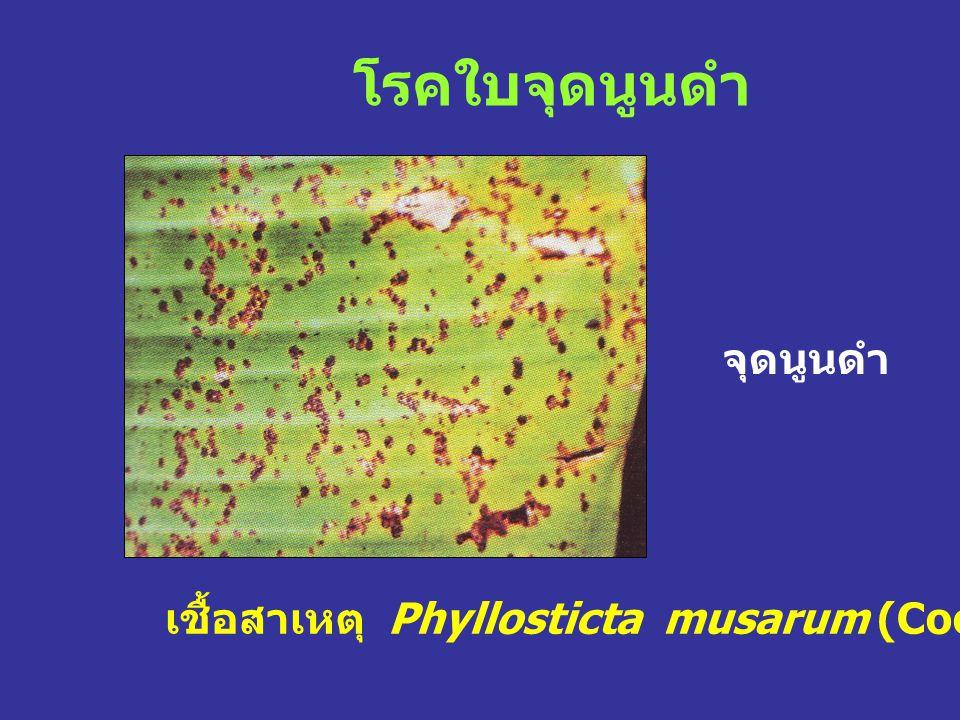 โรคใบจุดนูนดำ เชื้อสาเหตุ Phyllosticta musarum (Cooke) van der Aa. จุดนูนดำ
