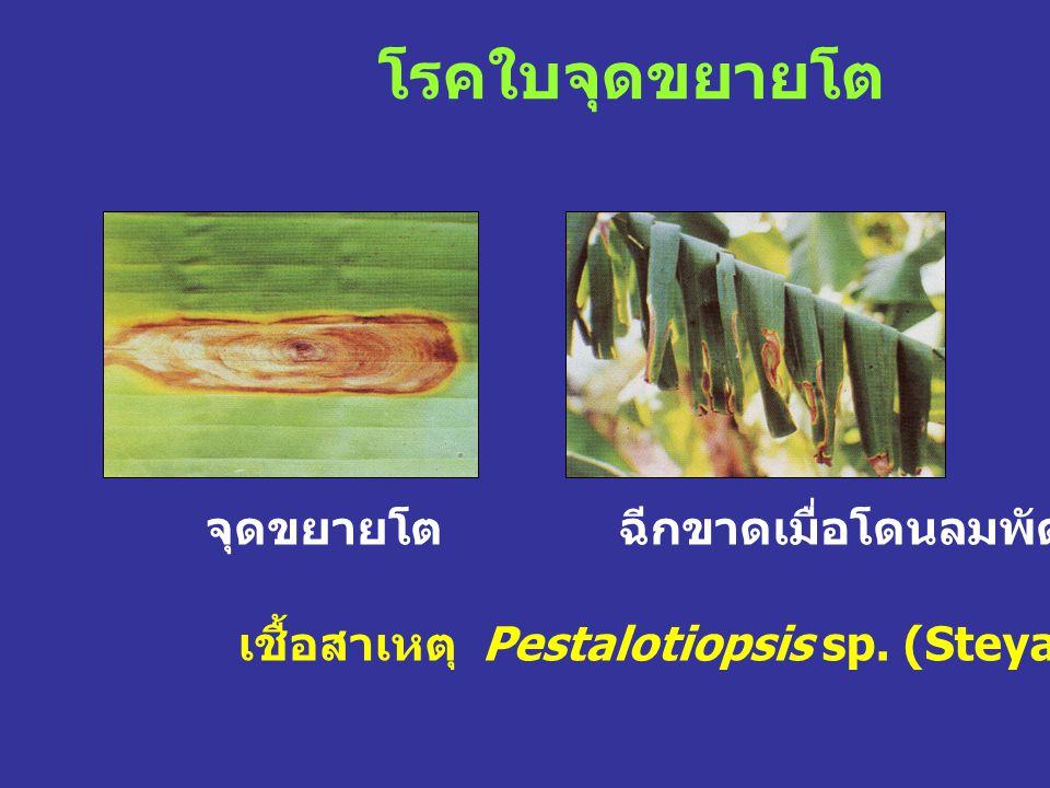 โรคใบจุดขยายโต เชื้อสาเหตุ Pestalotiopsis sp. (Steyaert.) จุดขยายโตฉีกขาดเมื่อโดนลมพัด