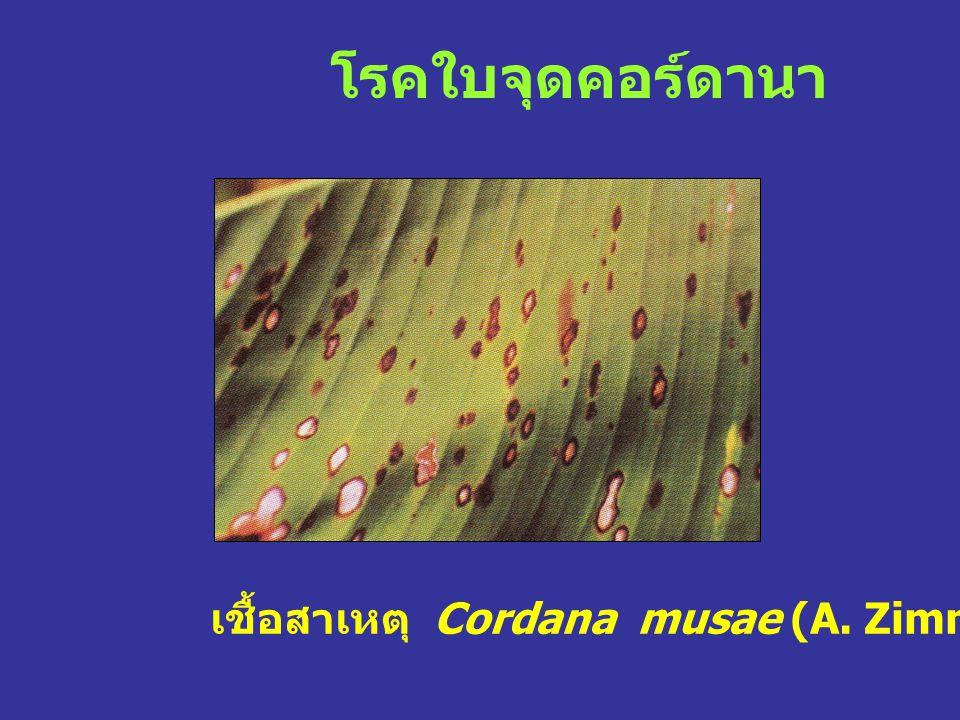 โรคใบจุดคอร์ดานา เชื้อสาเหตุ Cordana musae (A. Zimmern.) Hohn.