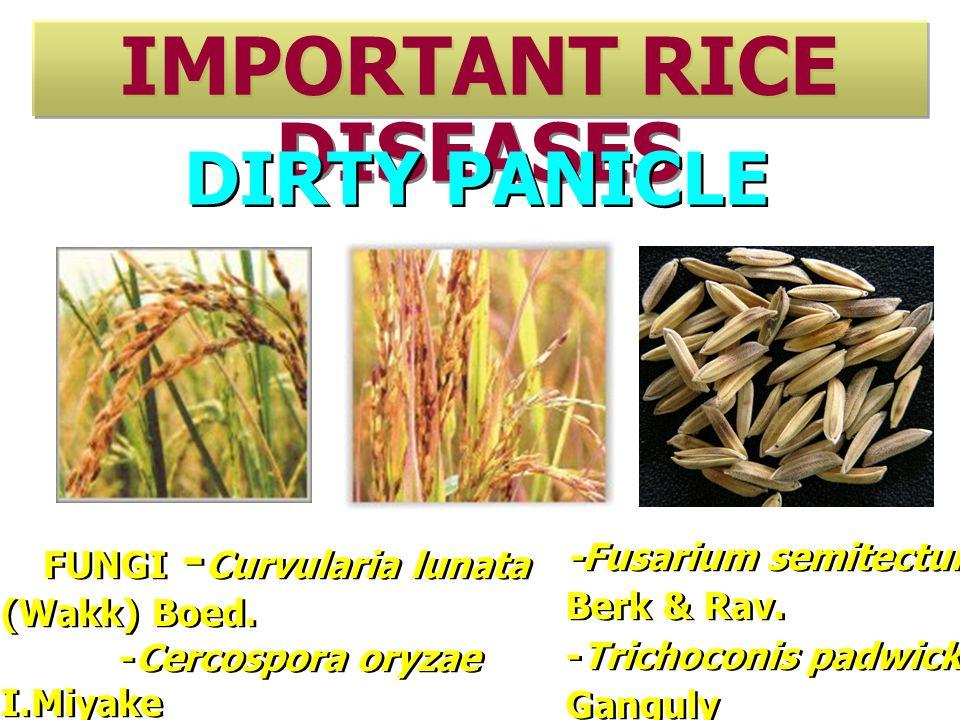 IMPORTANT RICE DISEASES DIRTY PANICLE FUNGI - Curvularia lunata (Wakk) Boed.