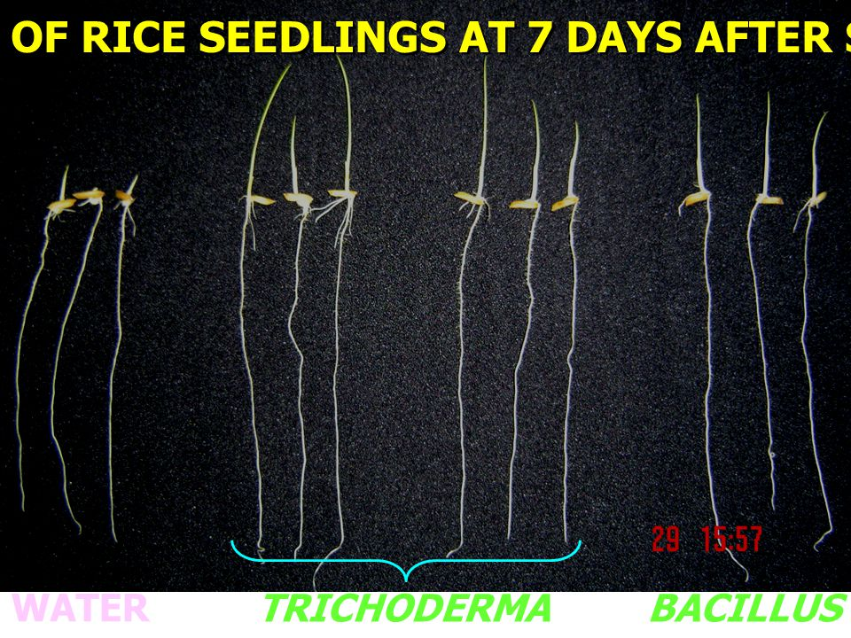 ROOTS OF RICE SEEDLINGS COLONIZED WITH TRICHODERMA 3-DAY-OLD ROOT 30-DAY-OLD ROOT