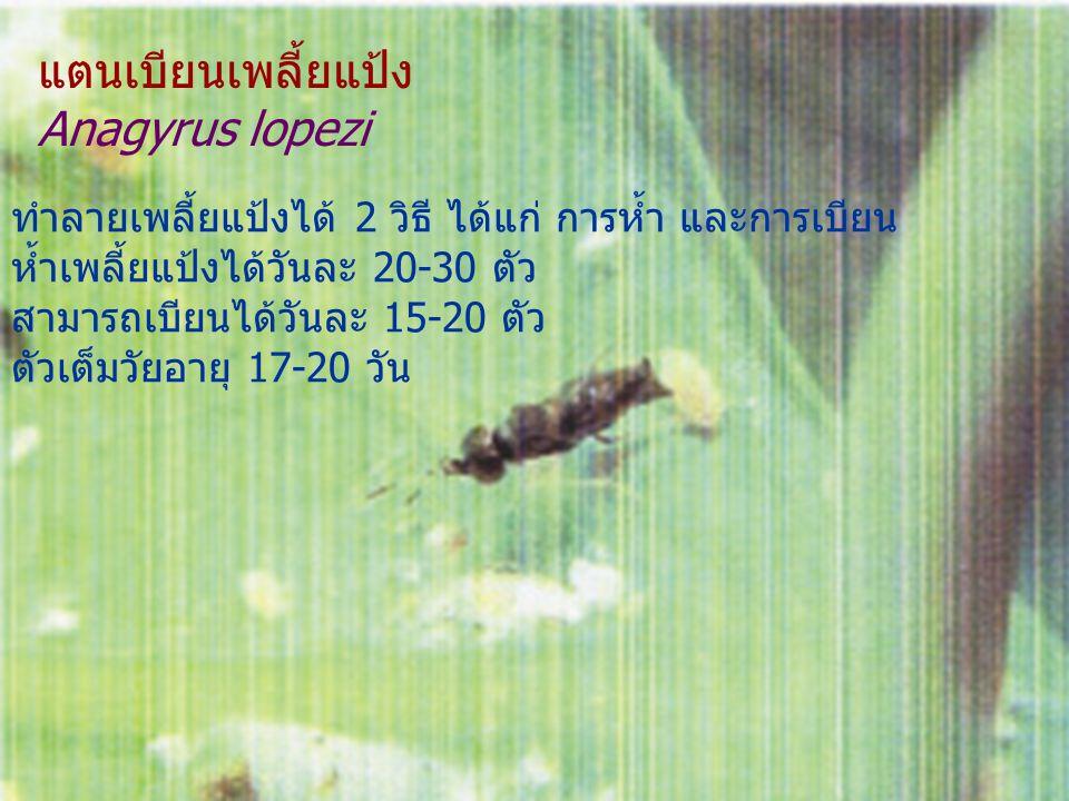 แตนเบียนเพลี้ยแป้ง Anagyrus lopezi ทำลายเพลี้ยแป้งได้ 2 วิธี ได้แก่ การห้ำ และการเบียน ห้ำเพลี้ยแป้งได้วันละ 20-30 ตัว สามารถเบียนได้วันละ 15-20 ตัว ต