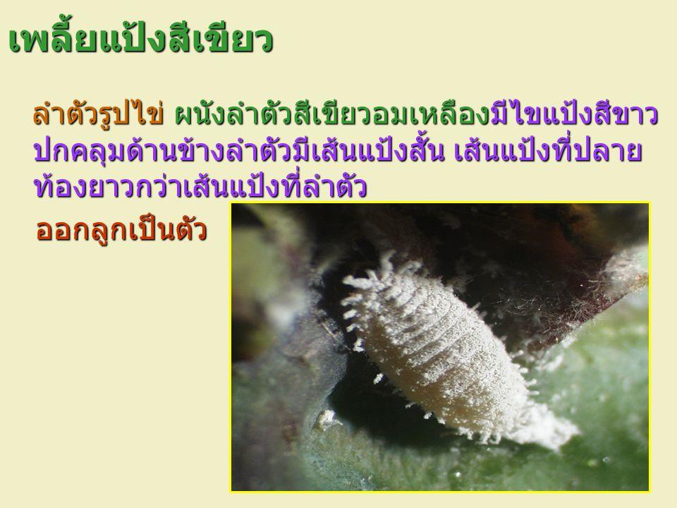 เพลี้ยแป้งสีเขียว ลำตัวรูปไข่ ผนังลำตัวสีเขียวอมเหลืองมีไขแป้งสีขาว ปกคลุมด้านข้างลำตัวมีเส้นแป้งสั้น เส้นแป้งที่ปลาย ท้องยาวกว่าเส้นแป้งที่ลำตัว ลำตั