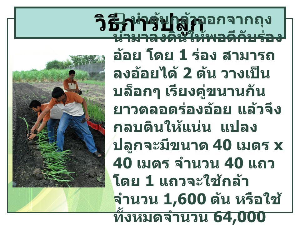  นำต้นกล้าออกจากถุง นำมาลงดินให้พอดีกับร่อง อ้อย โดย 1 ร่อง สามารถ ลงอ้อยได้ 2 ต้น วางเป็น บล็อกๆ เรียงคู่ขนานกัน ยาวตลอดร่องอ้อย แล้วจึง กลบดินให้แน่น แปลง ปลูกจะมีขนาด 40 เมตร x 40 เมตร จำนวน 40 แถว โดย 1 แถวจะใช้กล้า จำนวน 1,600 ต้น หรือใช้ ทั้งหมดจำนวน 64,000 ต้น ต่อไร่